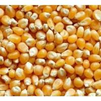 Popcorn Kernel 1kg