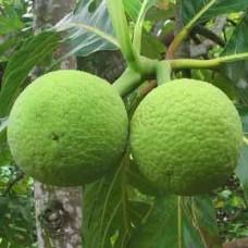 Breadfruit - Deegujje - Deevi halasu - ದೀವಿ ಹಲಸು -1KG - SEASONAL